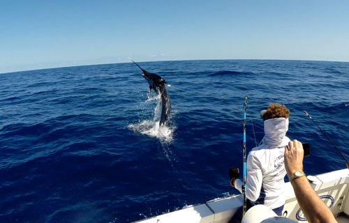 Marlin Leaping From The Water